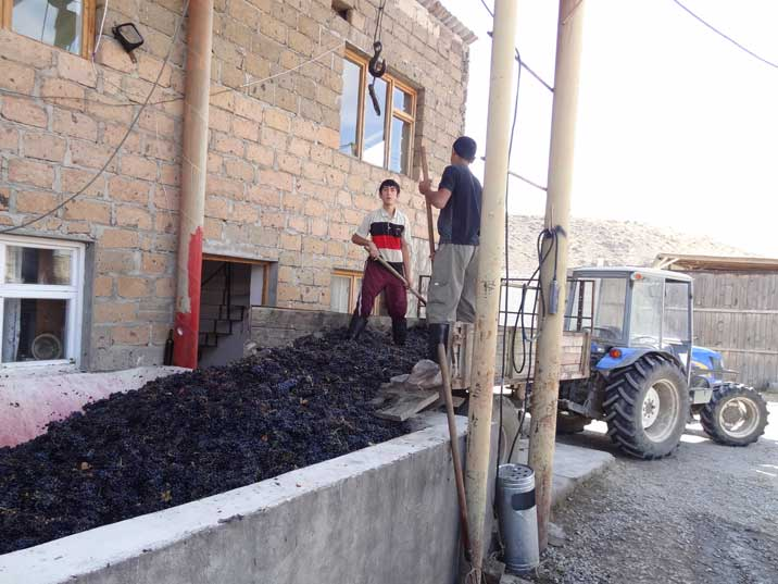 Boys working at the Areni whine factory are offloading grapes that have just been harvested from fields in the area