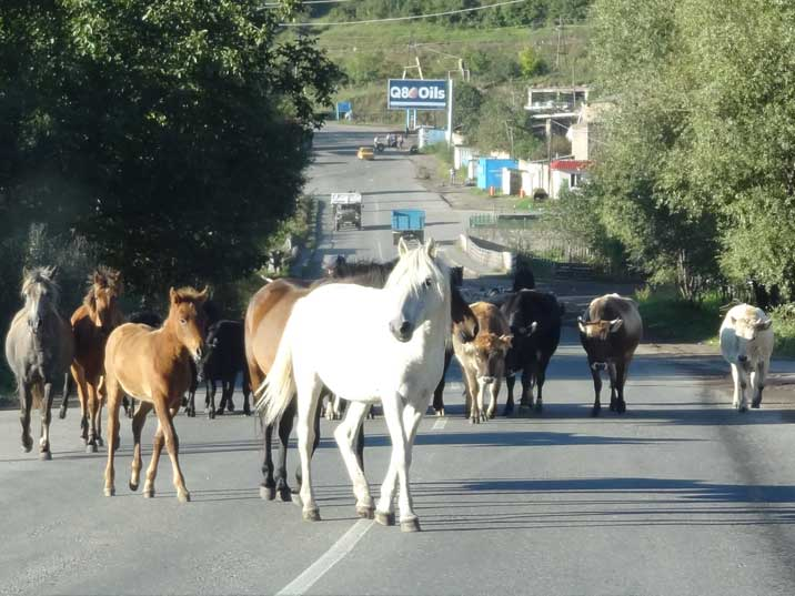 Cattle like cows, sheep, and goats are encountered all the time on the roads of rural Armenia, here horses in Goris
