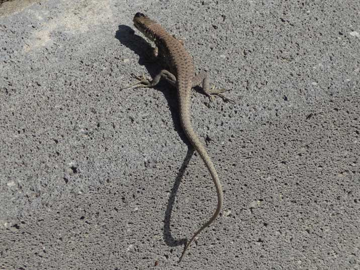 The Armenian Rock Lizard is a species of Darevskia, a genus of lizard belonging to the family of wall lizards