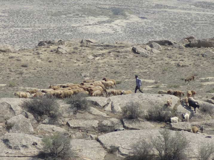 A local shepherd herding his sheep over the rocks of Gobustan helped by his Caucasian Sheep dog