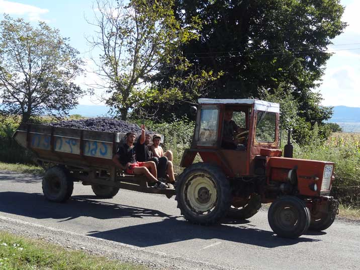 A farmer transporting grapes from the fields in Kakheti, one of the world's oldest and Georgia's best known wine region