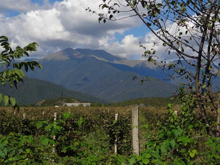 A vineyard in the Kakheti region where the best Georgian wine is produced, in the background are the Caucasus mountains