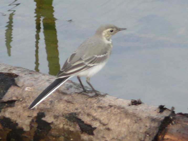 A White Wagtail the national bird of Latvia in Gauja National Park