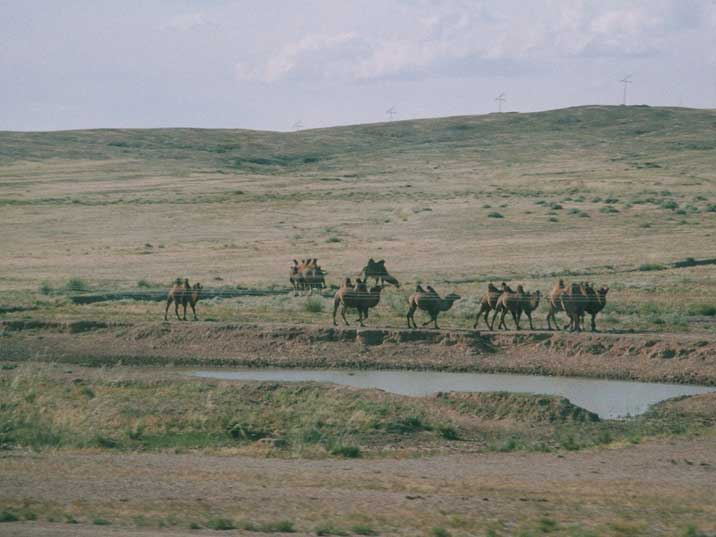 Camels walking in the Mongolian Gobi desert seen from the train
