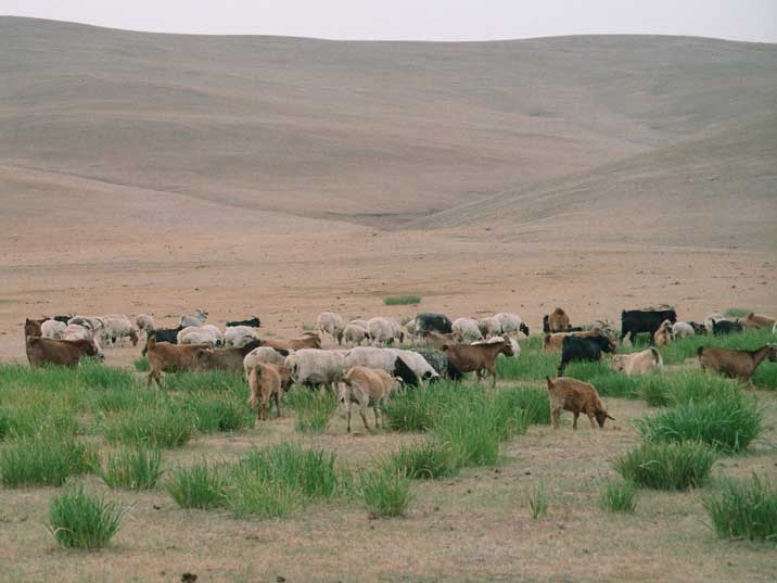 Goats grazing on the endless dry Mongolian steppe lands