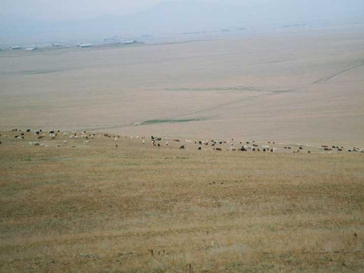 A large horde of goats grazing on the Mongolian steppes