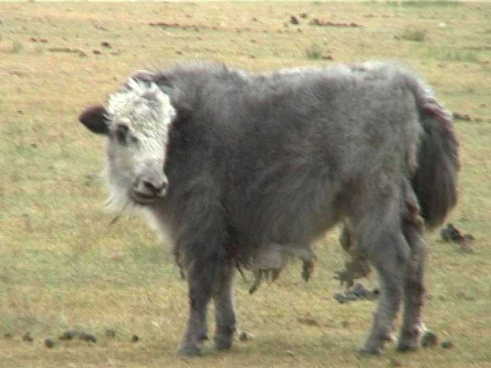 A Yak with long hair to protect it from the harsh Mongolian winter