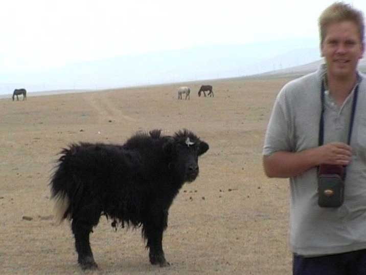 A young Yak and some horses grazing on the Mongolian steppes