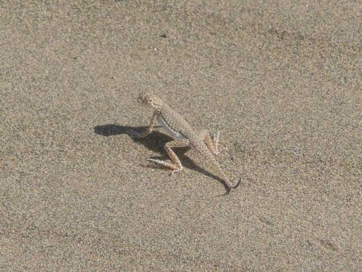 Lizard in the Karakum desert were temperatures reach 50 degrees